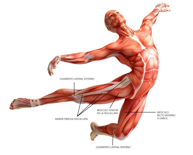 anatomia-fascia-lata-musculo-recto-interno-ligamento-lateral-interno-y-externo